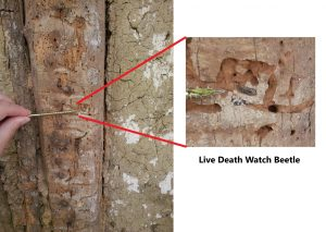 Death watch beetle infestation